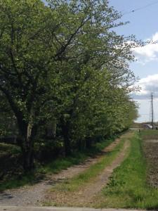 近くの葉桜